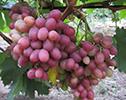 саженцы винограда Гурман Ранний