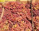 саженцы винограда Велес