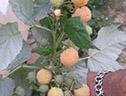 саженцы малины сорта Утренняя роса