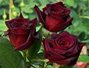 саженцы хризантем и роз